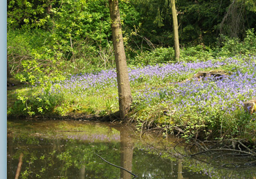 A carpet of bluebells surrounds the lake